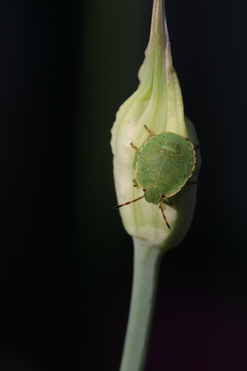 grüne  stink bug  insect