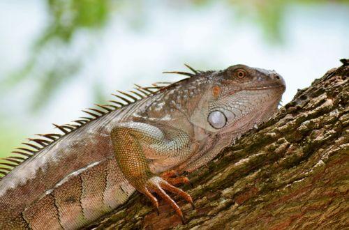 guane reptile lizard