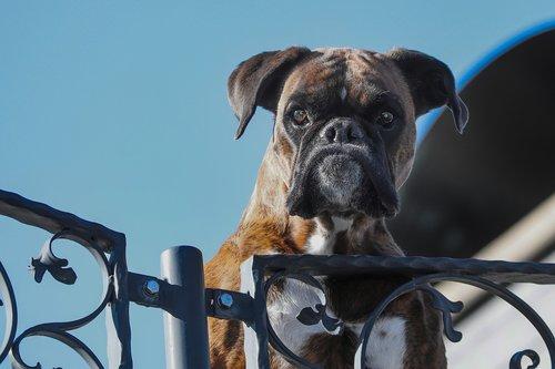 guard dog  pet  boxer