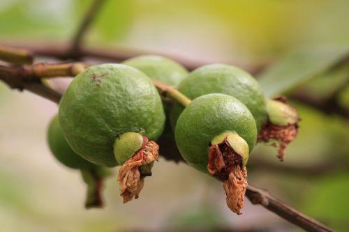 guava green fruit branch