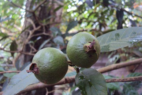 guava unripe fruit green