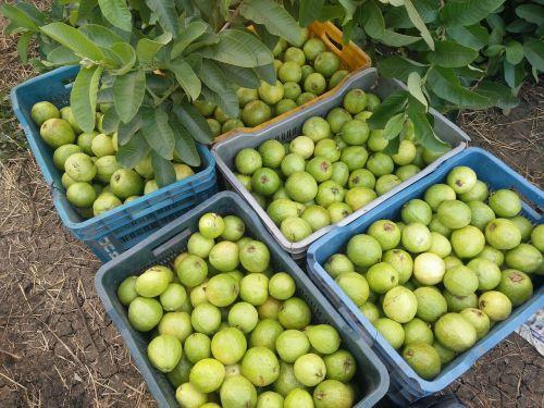guava guava tree tropical fruits