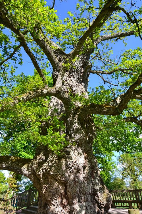 guillotin oak old tree old oak
