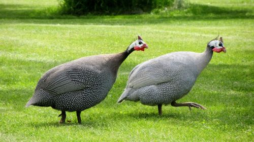 guinea fowl dot chickens poultry birds