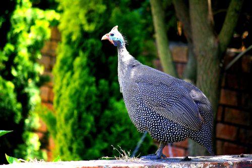 guinea fowl animal plumage