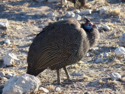 guinea fowl species chicken