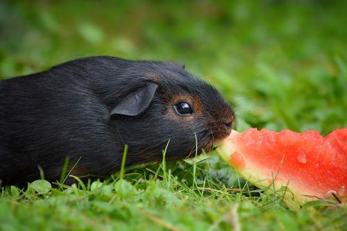 guinea pig young animal black tan