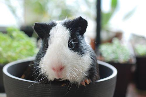 guinea pig pets animal