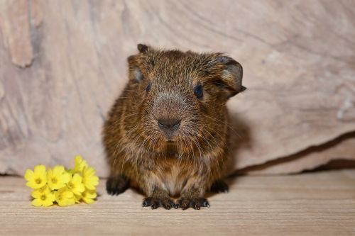 guinea pig baby guinea pigs young animal