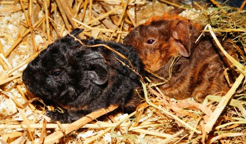 guinea pig young animals half a day old