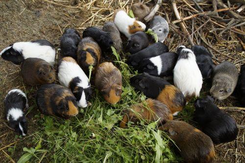 jūrų kiaulytė,daug,masė,kiekybiniai,jūrų kiaulyčių veisimas,veisimas,maži gyvūnai,augintiniai,maitinti,vegetariškas,maitinimas,valgyti,žalieji pašarai,gyvulininkystė