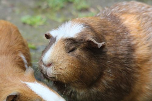 guinea pig caviidae species of rodent