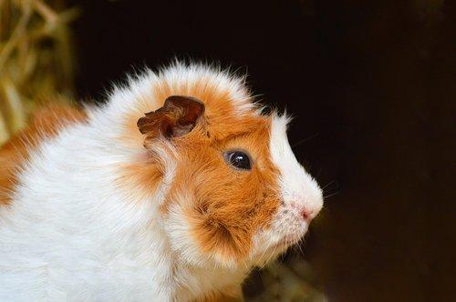 guinea pig  cute  nager