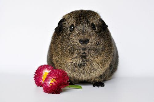 guinea pig animal fur