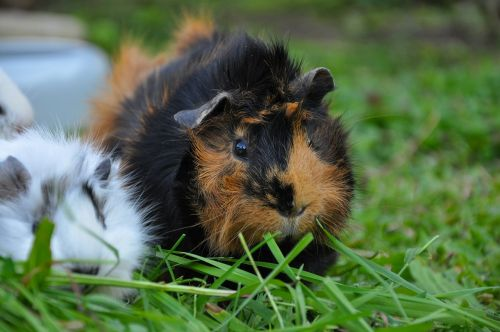 guinea pig grass nature