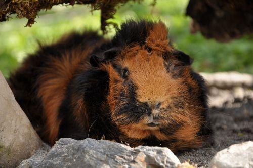 guinea pig rosette brindle