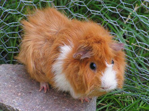 guinea-pig rosette female