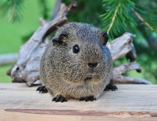 guinea pig smooth hair black-cream-agouti