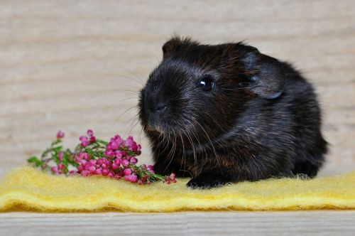 guinea pig smooth hair young animal