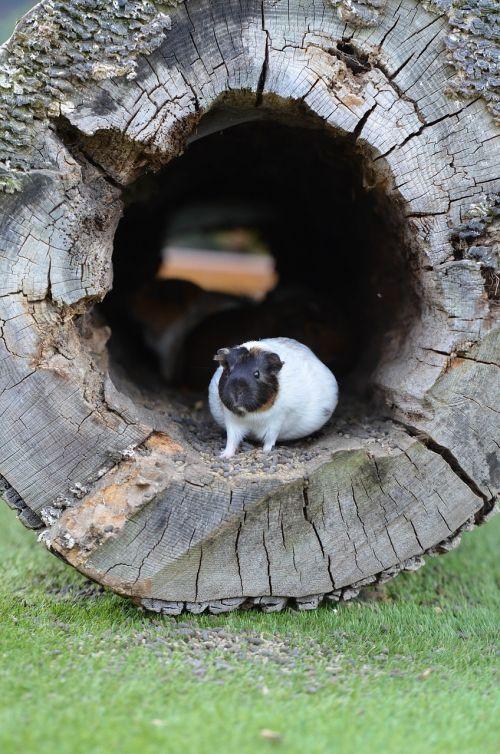 guinea pig zoo sweet