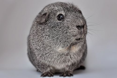 guinea pig smooth hair silver