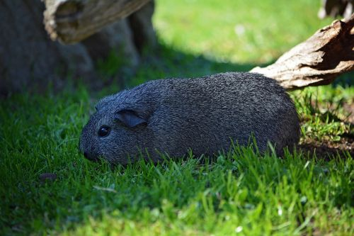 guinea pig young animal smooth hair