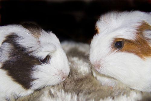 guinea pigs pets animals
