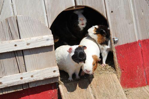 jūrų kiaulytės, naminių žiurkė, naminis gyvūnėlis, žiurkėnas, žiurkė, gyvūnas