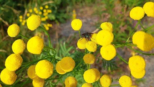 gulblomma  tansy  fly