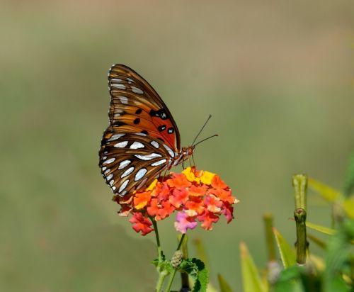 gulf fritillary butterfly insect