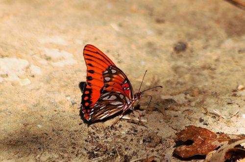 Gulf Fritillary Butterfly 3