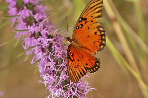 Gulf Fritillary Butterfly 4