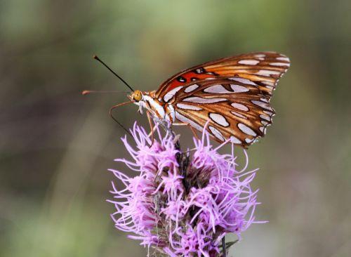 Gulf Fritillary Butterfly On Flower