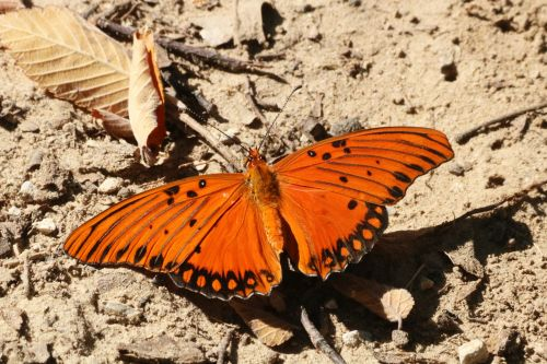 Gulf Fritillary Butterfly On Ground