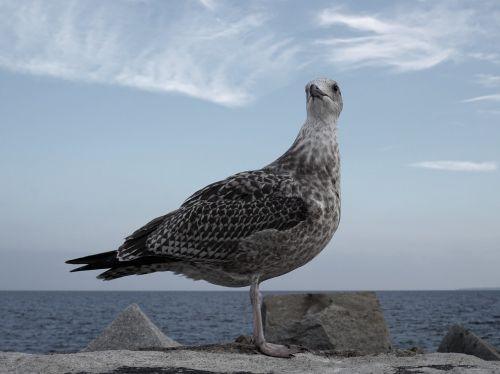 gull bird coastal