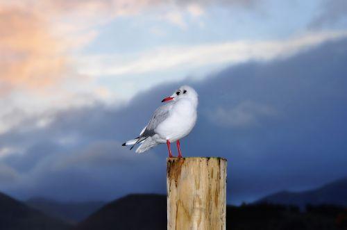 gull england cumbria
