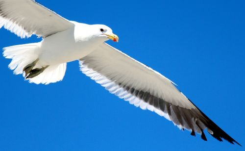 gull flight sky