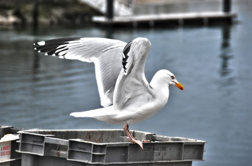 gull bird seabird