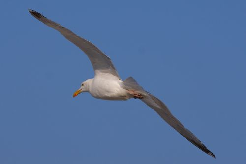gull flight bird