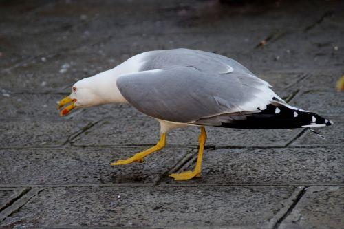 gull bird stalk