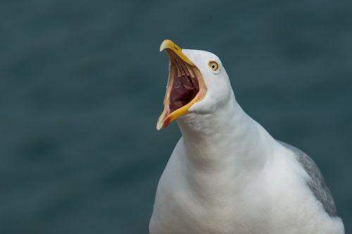 gull scream screamer