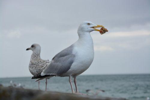 gull profile eat