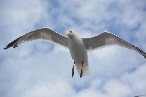 gull stolen wings