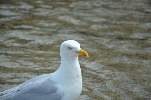 gull profile head