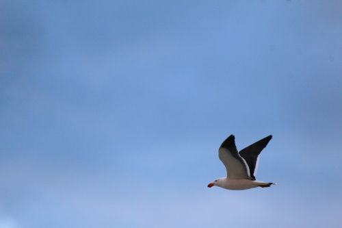 gull pacific flying