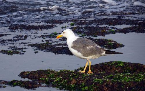 gull bird seagull