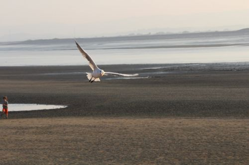 gull flight beach