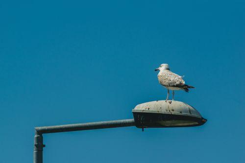 kepuraitė,šviesos poliai,gatvės apšvietimas,paukščiai,vanduo,gyvūnas,apšvietimo stovas,kajakas,ežeras,jūra,paukštis,seevogel