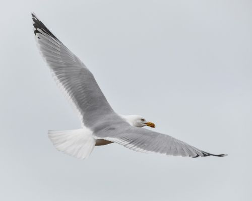 gull bird flight