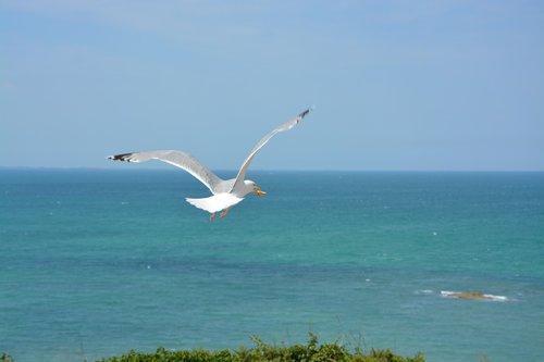 gull  seagull  sea